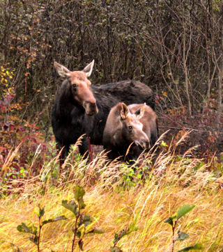 Moose photographed on the Lima Grade.  Photo provided by the Tindell family.